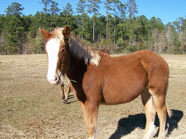Belgian Draft horses for sale,